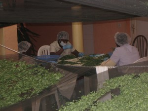 Moringa Processing by Women